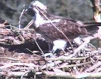 Osprey at the nest
